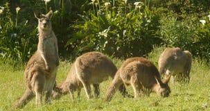 Consumición animal marsupial Australia del ualabi del canguro