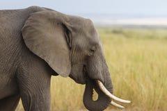Consumición apacible del elefante Foto de archivo libre de regalías