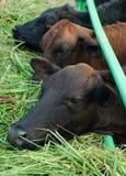 Consumición asiática de las vacas Imágenes de archivo libres de regalías