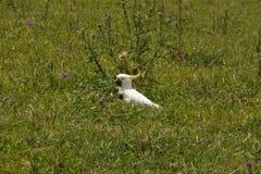 consumición Azufre-con cresta del cockatoo Imagenes de archivo