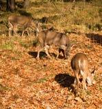 consumición Blanco-atada de los ciervos Fotos de archivo