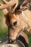 consumición Blanco-atada de los ciervos Foto de archivo libre de regalías