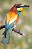 Consumición bonita del pájaro Imagen de archivo libre de regalías