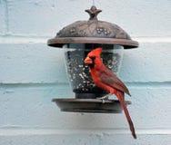 Consumición cardinal septentrional masculina de un alimentador Imágenes de archivo libres de regalías
