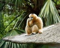 Consumición de Brown Gibbon imagenes de archivo