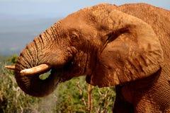 Consumición de Bull del elefante Imagen de archivo libre de regalías