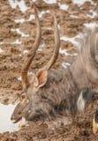Consumición de Bull del Nyala Fotos de archivo libres de regalías