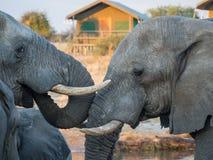 Consumición de dos elefantes africanos comparativa en el waterhole con la tienda del safari en el fondo, Botswana, África Foto de archivo libre de regalías