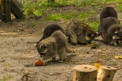 Consumición de Familiy de los mapaches Fotografía de archivo libre de regalías