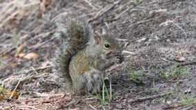 Consumición de Gray Squirrel metrajes