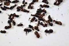 Consumición de hormigas Imagen de archivo libre de regalías