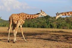 Consumición de jirafas en sabana Imagen de archivo libre de regalías