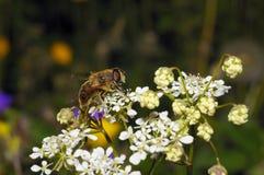 Consumición de la abeja Imagen de archivo