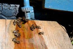 Consumición de la abeja Foto de archivo libre de regalías