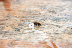 Consumición de la abeja Fotos de archivo
