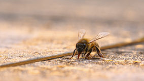Consumición de la abeja Imágenes de archivo libres de regalías