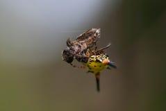 Consumición de la araña Imágenes de archivo libres de regalías