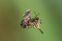 Consumición de la araña Foto de archivo libre de regalías