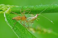 Consumición de la araña del lince saltamontes Imagen de archivo