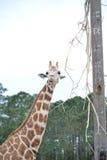 Consumición de la jirafa Fotos de archivo libres de regalías