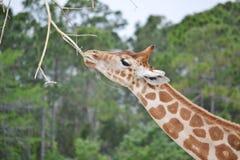 Consumición de la jirafa Fotografía de archivo libre de regalías