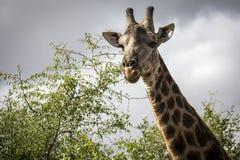 Consumición de la jirafa Imagen de archivo libre de regalías