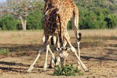Consumición de la jirafa en sabana Fotos de archivo libres de regalías