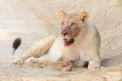 Consumición de la leona Fotos de archivo libres de regalías