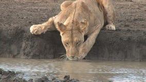 Consumición de la leona almacen de video
