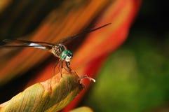 Consumición de la libélula Imágenes de archivo libres de regalías