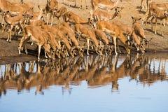 Consumición de la manada del impala Fotografía de archivo