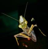 Consumición de la mantis religiosa Fotografía de archivo