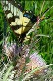 Consumición de la mariposa fotografía de archivo