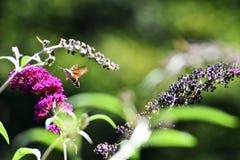 Consumición de la mariposa de la polilla Imágenes de archivo libres de regalías