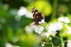 Consumición de la mariposa del almirante rojo Foto de archivo libre de regalías