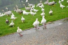 Consumición de la paloma Foto de archivo
