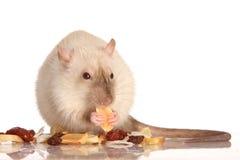 Consumición de la rata del animal doméstico imagen de archivo
