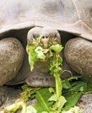 Consumición de la tortuga de las Islas Gal3apagos imágenes de archivo libres de regalías