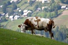 Consumición de la vaca Imagen de archivo libre de regalías
