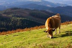 Consumición de la vaca de Brown Foto de archivo