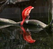 Consumición de las aves acuáticas Fotos de archivo libres de regalías