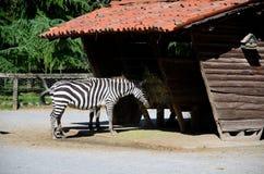 Consumición de las cebras Foto de archivo libre de regalías