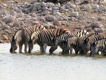 Consumición de las cebras de Namibia Foto de archivo