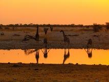 Consumición de las jirafas de Namibia Fotografía de archivo libre de regalías