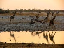 Consumición de las jirafas de Namibia Foto de archivo libre de regalías