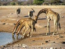 Consumición de las jirafas de Namibia Imágenes de archivo libres de regalías