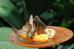 Consumición de las mariposas Imágenes de archivo libres de regalías