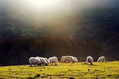 Consumición de las ovejas Imágenes de archivo libres de regalías