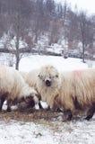 Consumición de las ovejas Foto de archivo libre de regalías