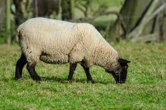 Consumición de las ovejas de Suffolk Foto de archivo libre de regalías